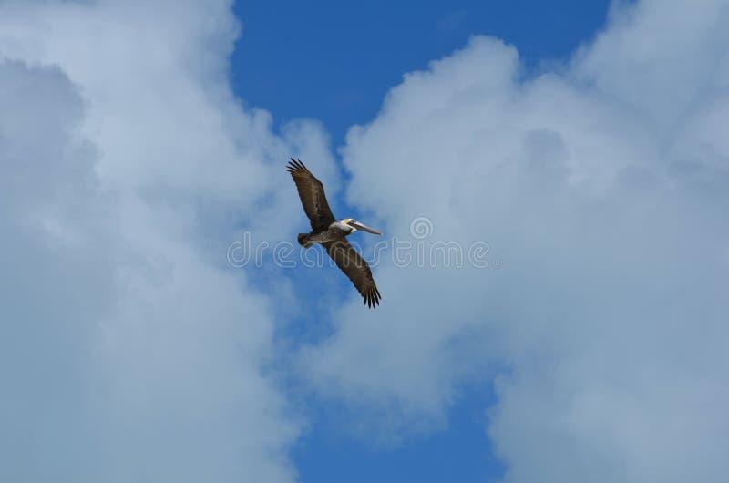 Pelikan w niebie fotografia stock
