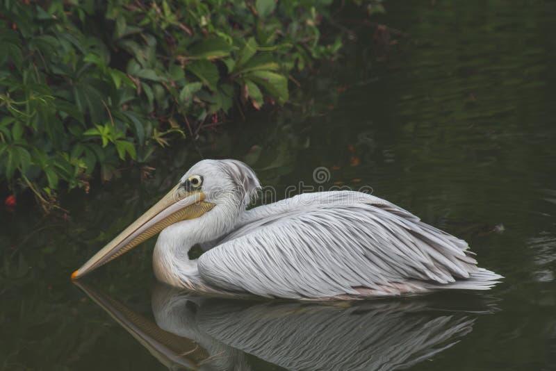 Pelikan w zoo obraz stock