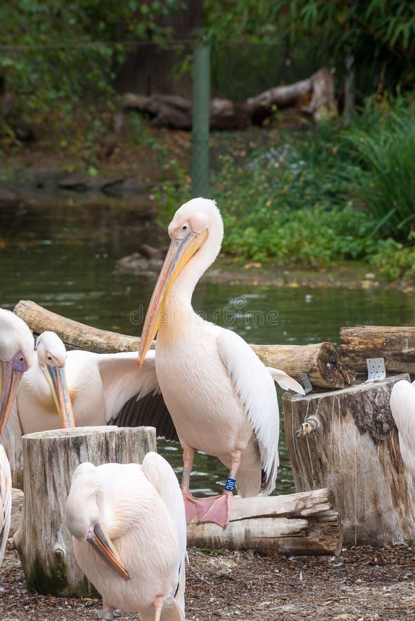 Pelikan w zoo fotografia royalty free