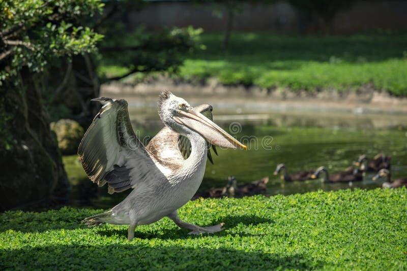 Pelikan - wielki stadny waterbird fotografia stock
