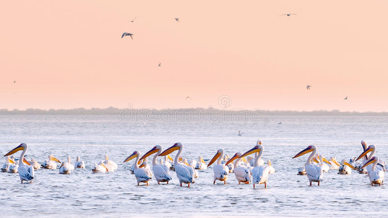 pelikan woda zdjęcia royalty free