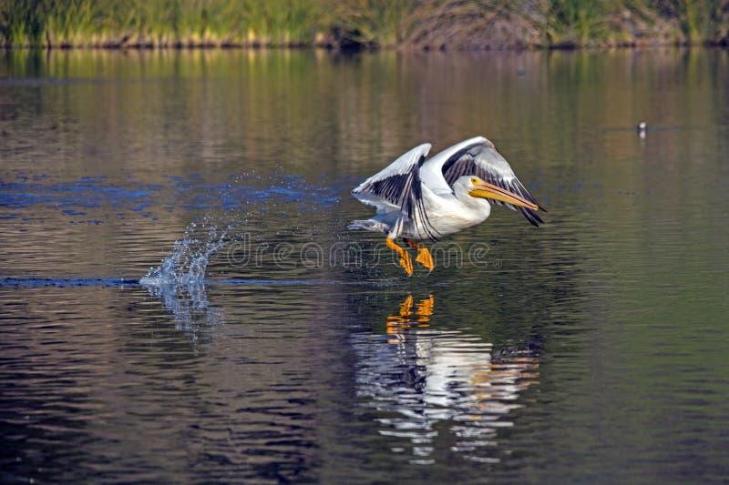 Pelikan wystartuje nad jeziorem La Pas obraz royalty free