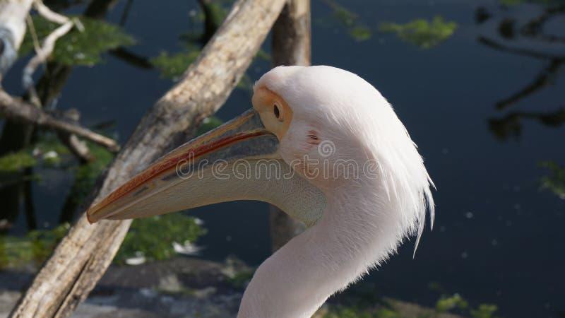 Pelikan zamknięty w górę twarz stawu w backround obraz royalty free