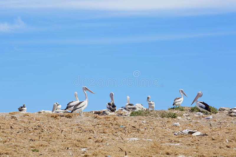 Pelikana żołnierza piechoty morskiej i sanktuarium ptaki obrazy royalty free