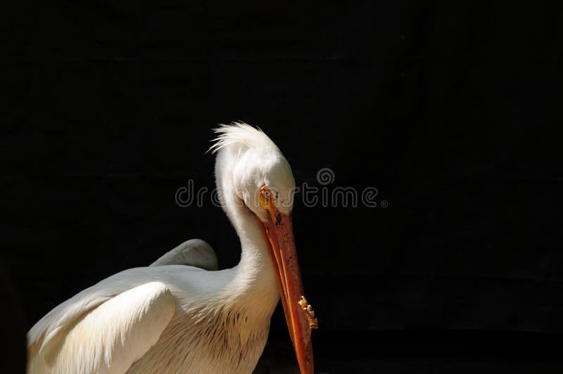 pelikana amerykański biel zdjęcia royalty free