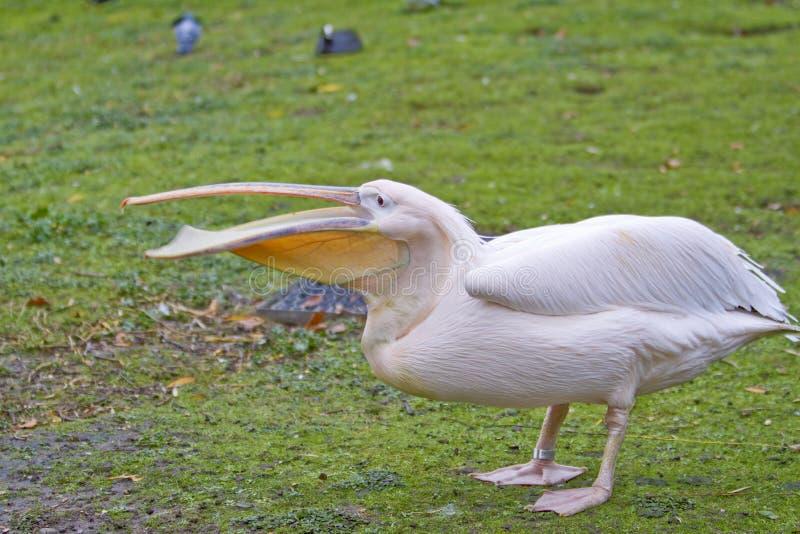 pelikana biel obrazy stock
