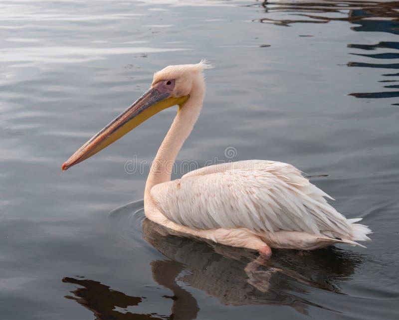 Pelikana dopłynięcie w morzu zdjęcia royalty free
