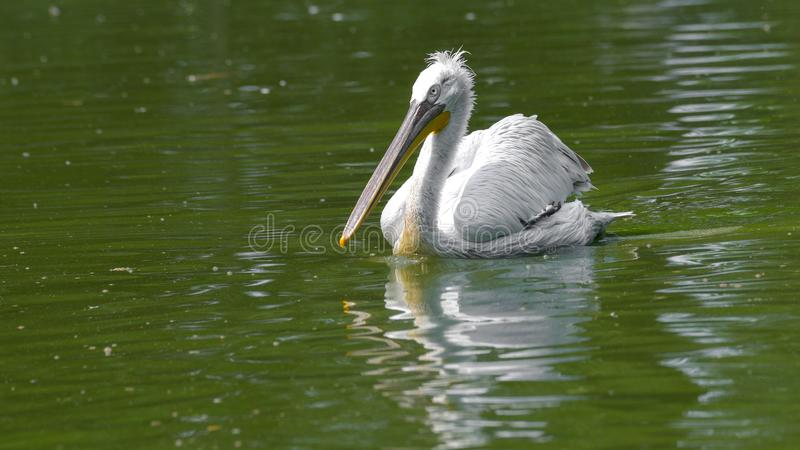 Pelikana dopłynięcie w rzece obraz stock