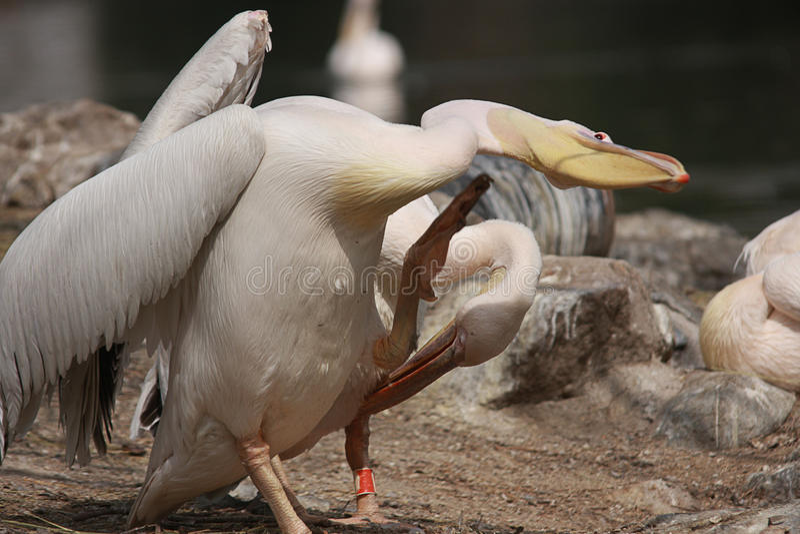 2 pelikana drapają obrazy royalty free