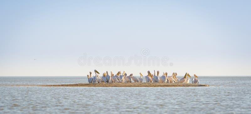 Pelikana kierdel zdjęcie royalty free