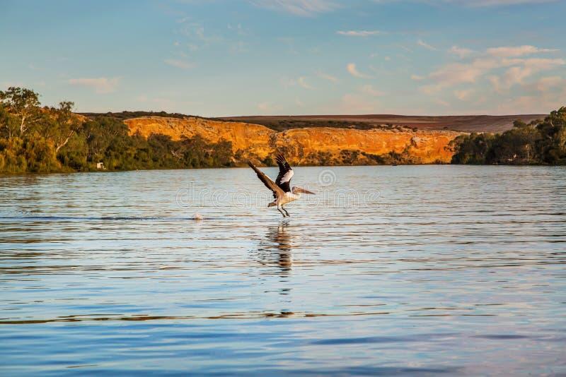 Pelikana latanie zdjęcie royalty free