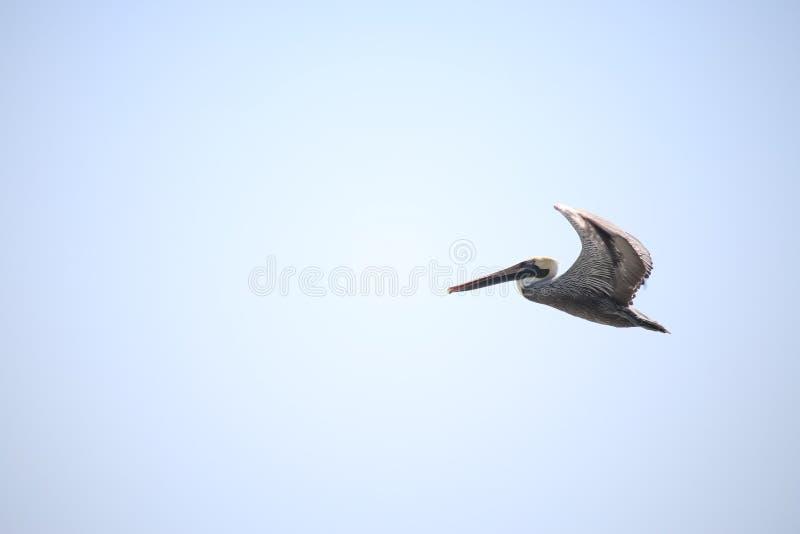 Pelikana latanie przeciw niebieskiego nieba tłu zdjęcia royalty free