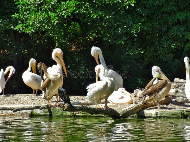Pelikana miejsca siedzące w zoo w NÃ ¼ rnberg fotografia royalty free
