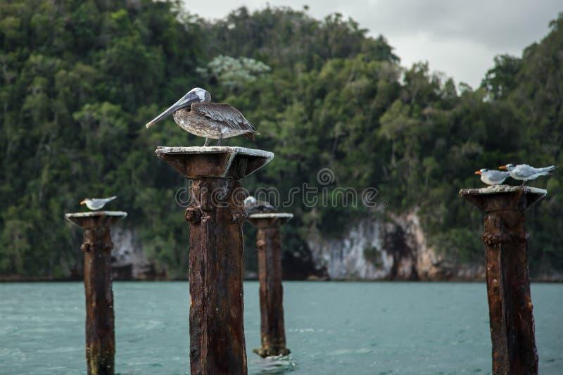 Pelikana obsiadanie na przegniłym jetty poparciu obrazy royalty free
