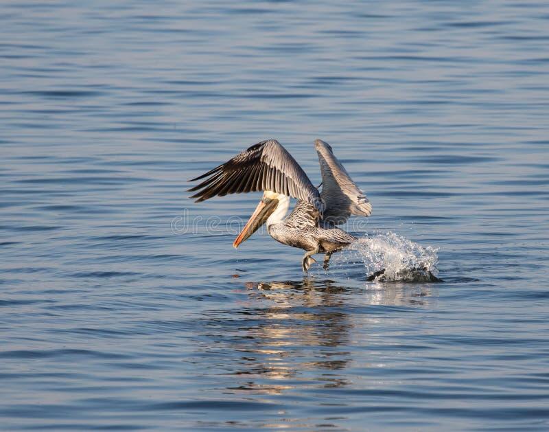 Pelikana odlot obrazy royalty free