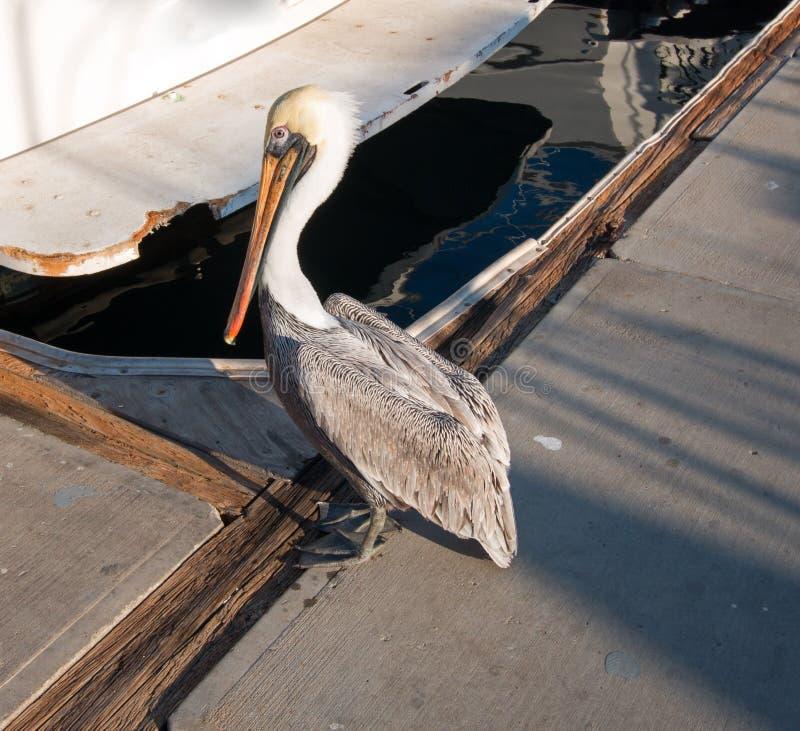 Pelikana odprowadzenie na doku w Cabo San Lucas Baj Meksyk marina obraz stock