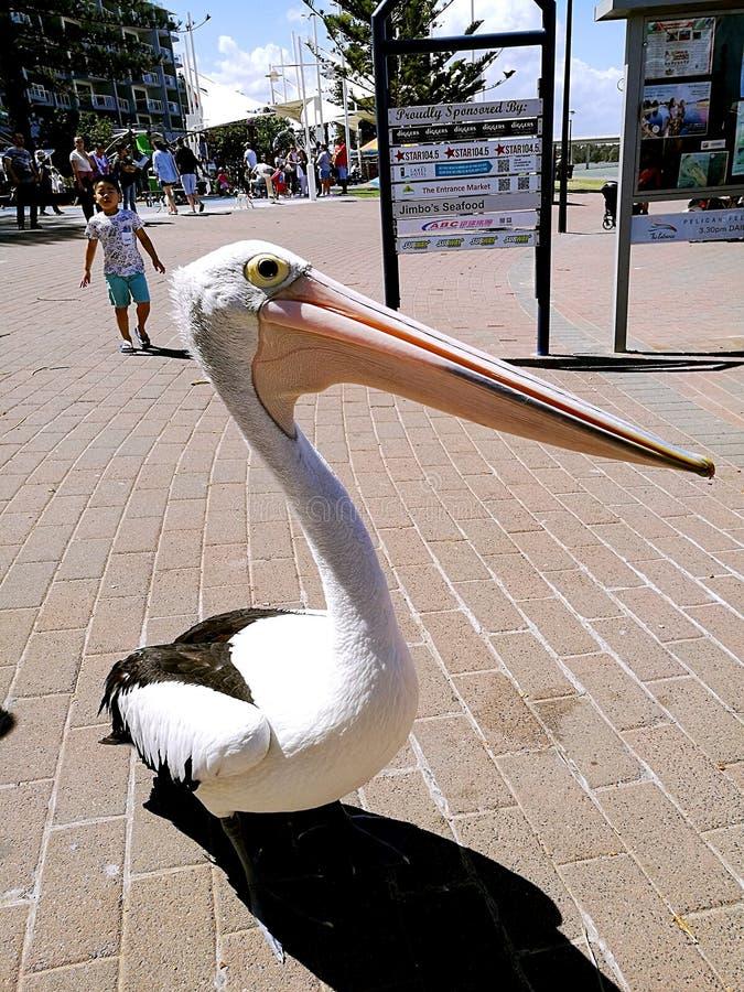 Pelikana odprowadzenie na ulicznym @ wejście obrazy royalty free