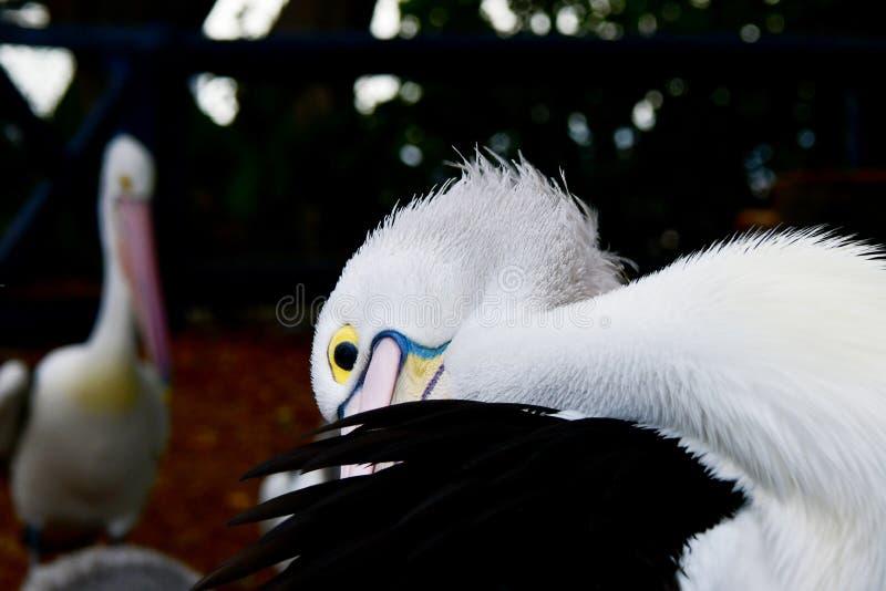Pelikana oko obrazy royalty free