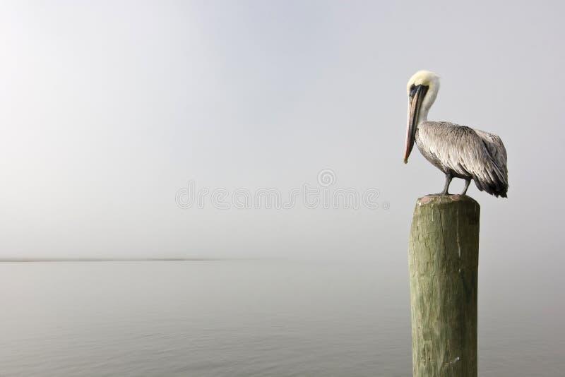 pelikana palowanie zdjęcia royalty free