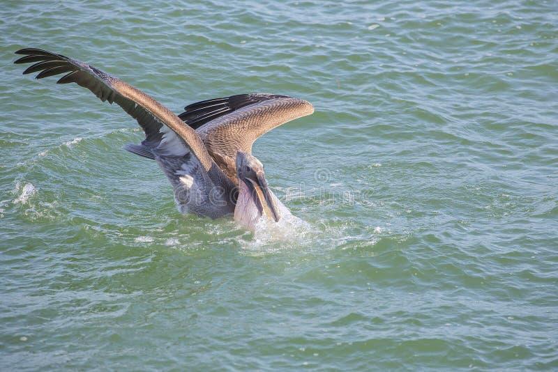 Pelikana pikowanie Podczas Rybiego polowania obraz royalty free