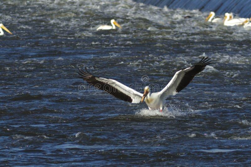 Pelikana przybycie wewnątrz dla Lądować fotografia stock
