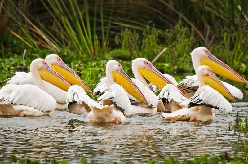 Pelikana ptak w Afryka zdjęcie royalty free