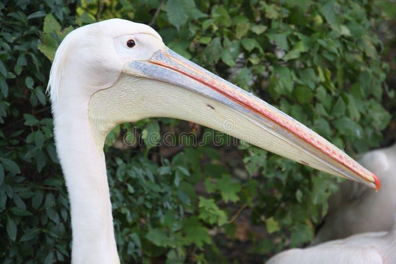 Pelikana ` s głowy zakończenie obrazy stock