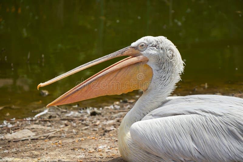 Pelikana siedzący usta otwarty zdjęcia stock
