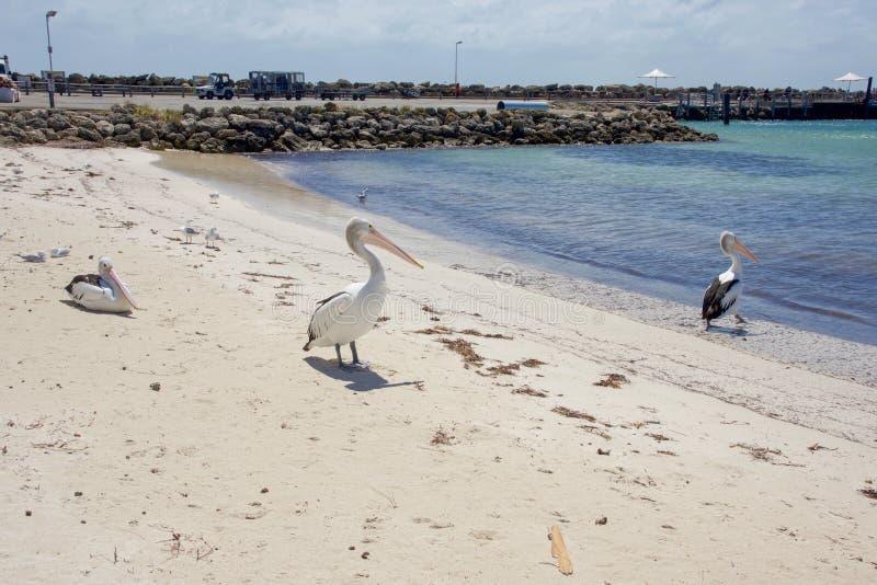 Pelikana styl życia przy Rottnest wyspą zdjęcie royalty free