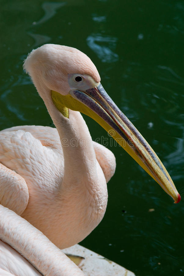 pelikana wielki biel zdjęcia stock