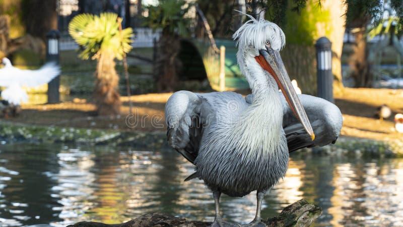 Pelikana zbliżenie w parku zdjęcie stock