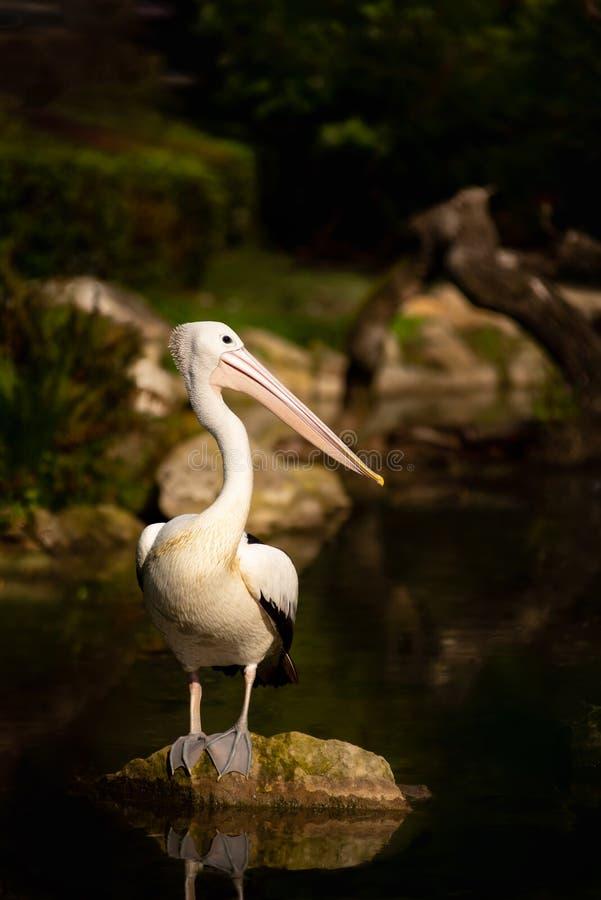 Pelikananseende på stenen i vatten arkivbild