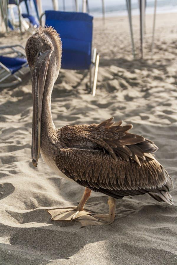 Pelikancloseup i en strand royaltyfria foton