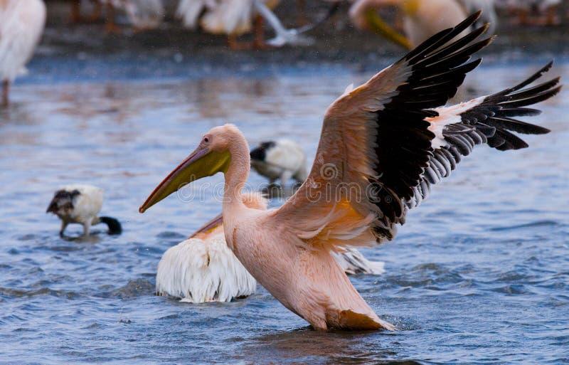 Pelikane auf dem See See Nakuru kenia afrika lizenzfreie stockfotografie