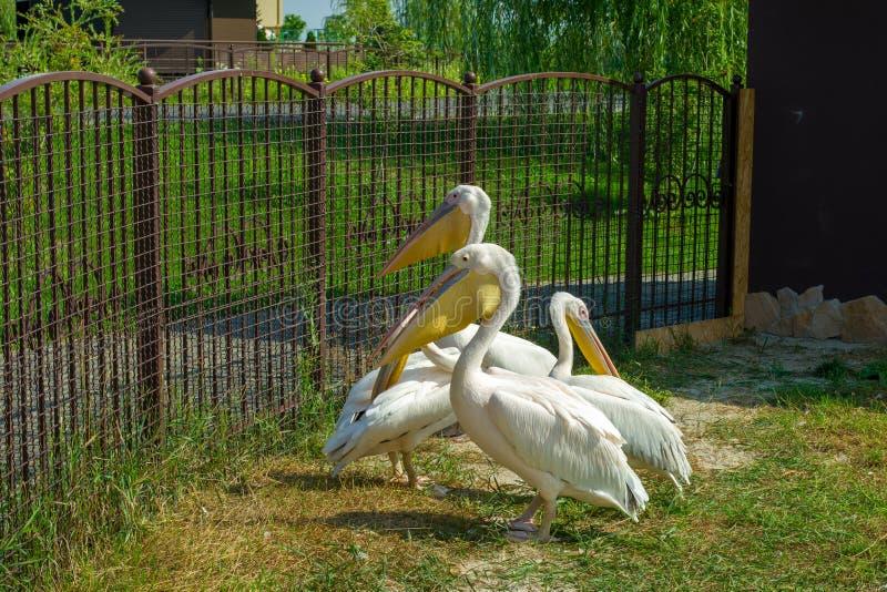 Pelikane auf der Straße im Zoo lizenzfreie stockbilder