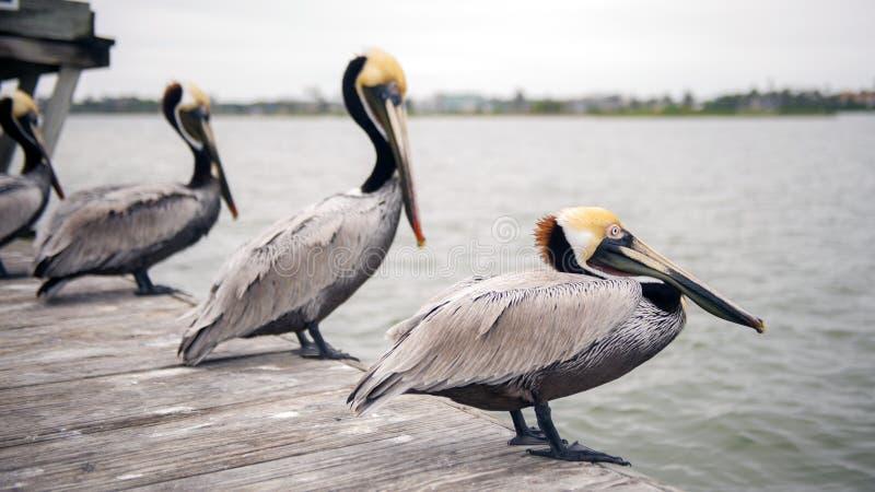 Pelikane auf einem Dock lizenzfreies stockbild
