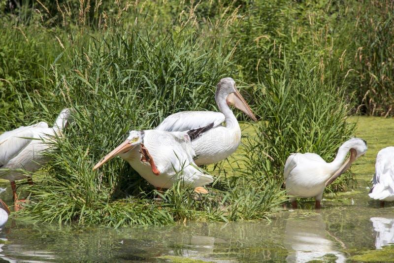 Pelikane auf einer Insel am See lizenzfreie stockbilder