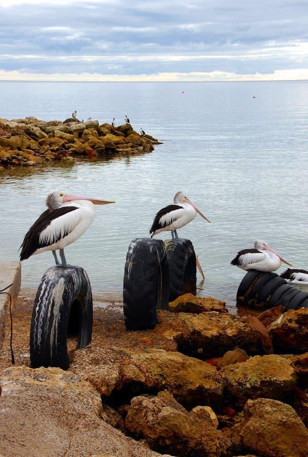 Pelikane bei Emy bellen, Känguru-Insel, Süd-Australien lizenzfreies stockbild
