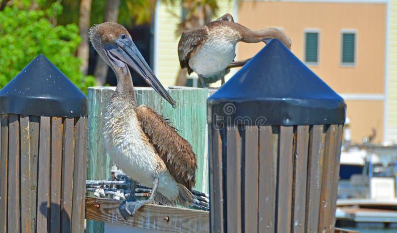 Pelikane, die auf dem Dock-Beitrag aufwerfen stockfoto