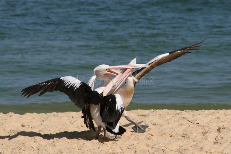 Pelikane, die auf Strand kämpfen lizenzfreie stockfotografie