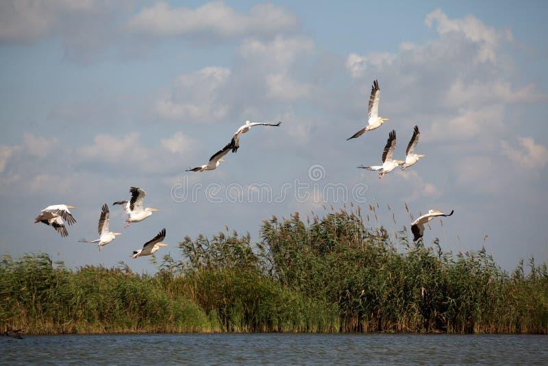Pelikane, die in Deltalandschaft fliegen stockfotos