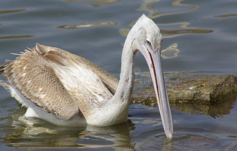 Pelikane, die Fische nahe See Hora, Äthiopien fangen lizenzfreies stockbild
