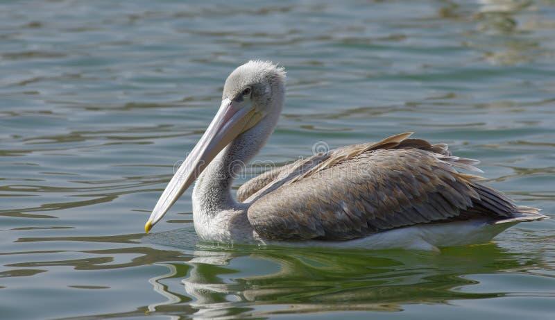 Pelikane, die Fische nahe See Hora, Äthiopien fangen lizenzfreies stockfoto