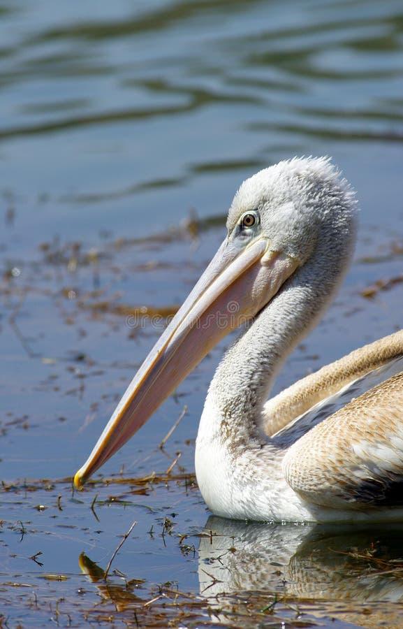 Pelikane, die Fische nahe See Hora, Äthiopien fangen stockfotografie