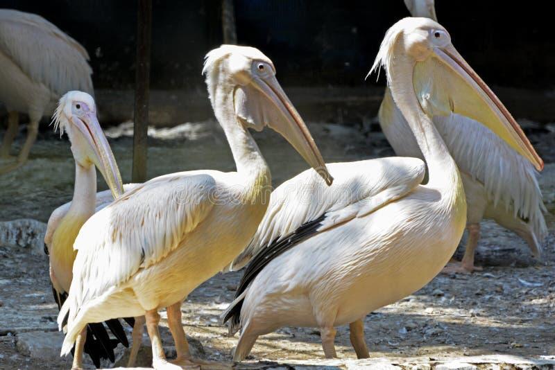 Pelikane, die Haltung geben stockfotos