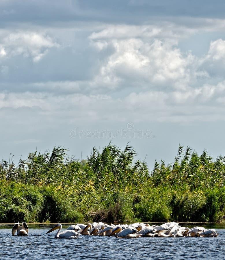 Pelikane, die im Donau-Delta fischen lizenzfreie stockfotografie
