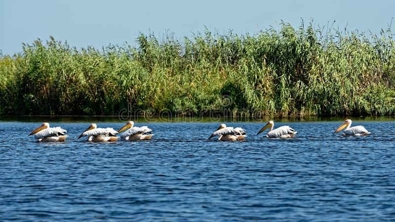 Pelikane, die im Donau-Delta fischen lizenzfreie stockfotos