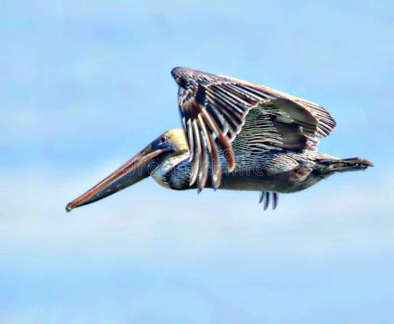 Pelikane haben die Schönheit, die Größe und den Fähigkeitsatz, zum der Logiks der Fische zu verstehen stockfotos
