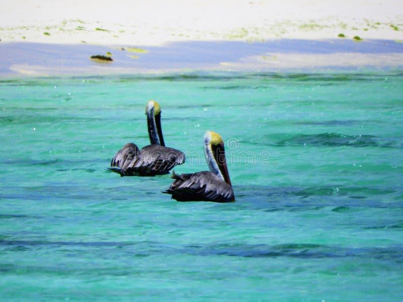 Pelikane im karibischen Meer stockfotografie