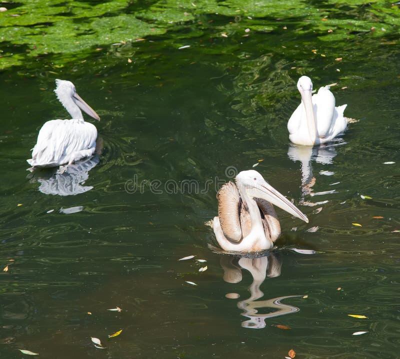 Pelikane im Moskau-Zoo, Russland stockfoto
